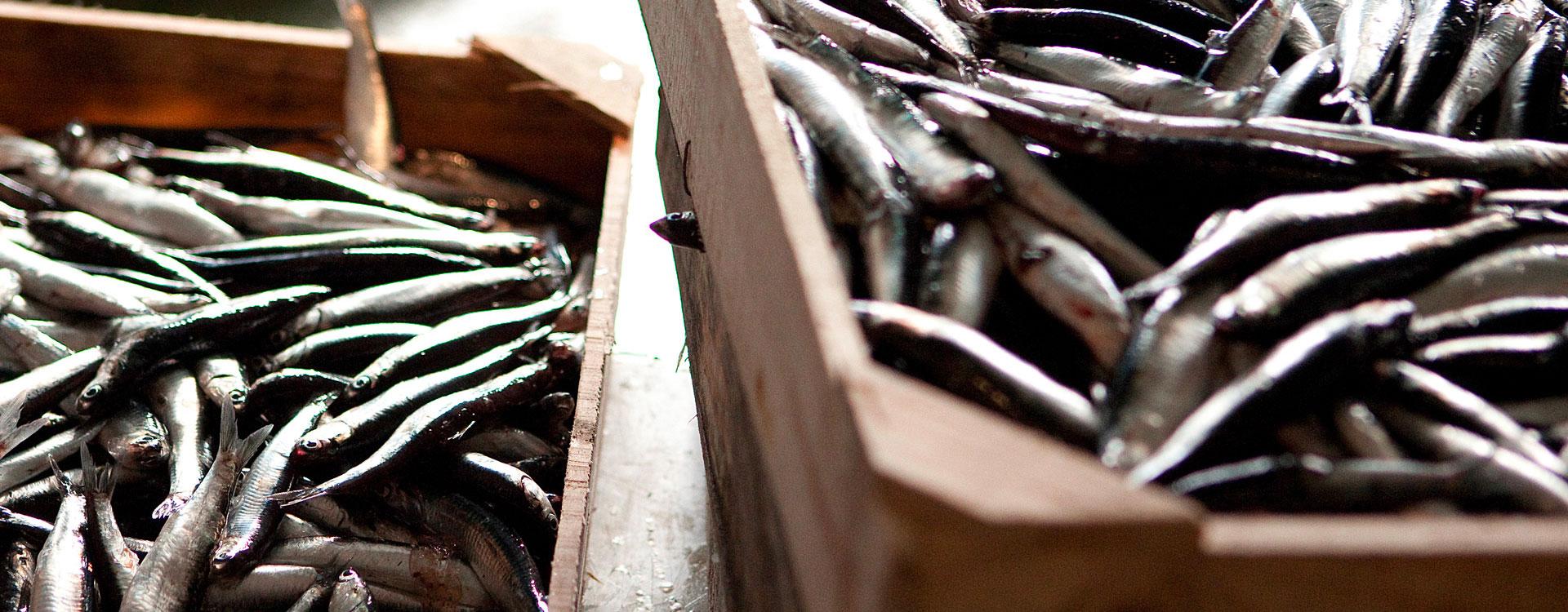 ilpescato acciughe olasagasti